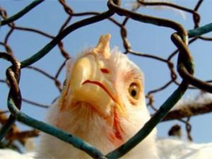 Птичий грипп по-прежнему представляет угрозу для жителей Египта