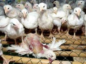 В Индонезии выявлены новые случаи инфицирования людей вирусом птичьего гриппа А/H5N1