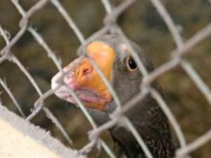 Птичий грипп не угрожает Тюменской области