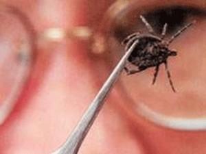 Опасность заболеть клещевым боррелиозом в Рязанской области сохраняется