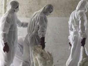 На смену свиному гриппу может снова прийти птичий, причем мутировавший