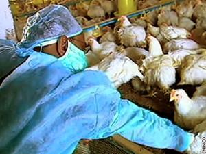 В Сибири закончилась вакцинация домашней птицы против гриппа
