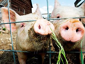 В США появился новый вирус «свиного» гриппа