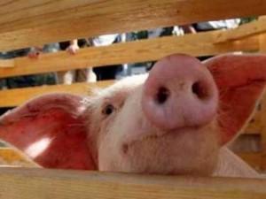 ВОЗ: эпидемии «свиного гриппа» этой зимой не будет