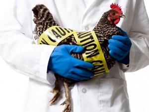Япония забьет 4 миллиона кур из-за птичьего гриппа