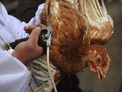 Птичий грипп одолевает голландских кур