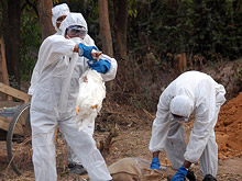 Южная Азия готовится к эпидемии птичьего гриппа