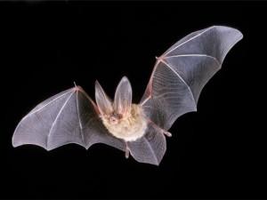 У летучих мышей обнаружен грипп, «родственный» свиному и птичьему