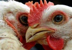 Птичий грипп наступает: власти приказали уничтожить тысячи кур