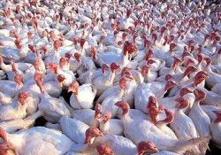 Мир узнает, как птичий грипп сделать заразным для людей