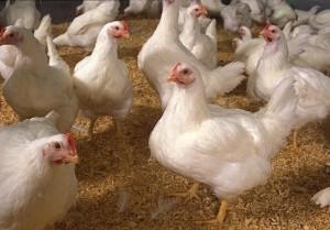 Птичий грипп в Приамурье не найден