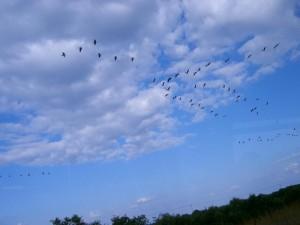 Усилен сезонный контроль за перелетными птицами для исследования вируса «птичьего гриппа»
