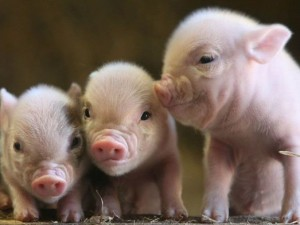 Ученые наконец выяснили почему свиной грипп устойчив к лекарствам