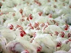 В Мексике будет привито от гриппа восемьдесят миллионов кур
