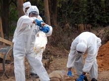 Безграмотность мешает борьбе с птичьим гриппом, жалуются эпидемиологи