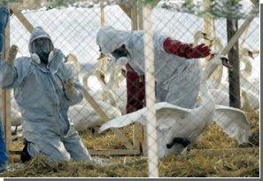 Вспышка птичьего гриппа типа Н7 началась в Австралии
