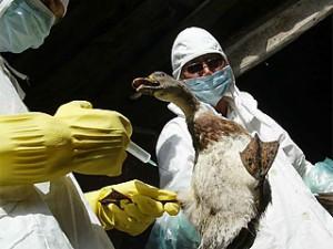 Птичий грипп может попасть в Омский регион