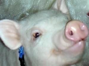Свиной грипп убил почти 90 венесуэльцев