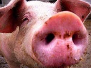 В России разработана тест-система к гриппу свиней типа А подтипа H1N1