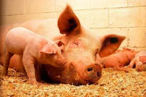 Вспышка свиного гриппа на продуктовых ярмарках