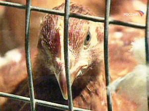 Птичий грипп H7N9 может вызвать всемирную эпидемию после пары мутаций