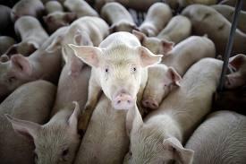 Свиной грипп «под микроскопом»