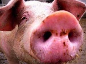 Японские ученые открыли блокиратор вируса свиного гриппа