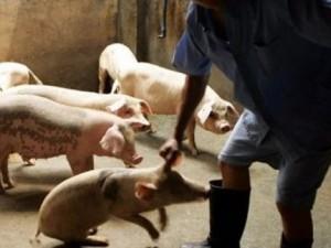 В легких свиней обнаружен смертельно опасный грипп, передающийся по воздуху