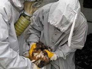 В Италии из-за угрозы птичьего гриппа уничтожены свыше полумиллиона кур