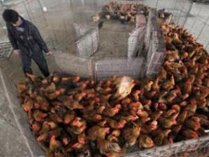 Найден новый штамм вируса «птичьего» гриппа