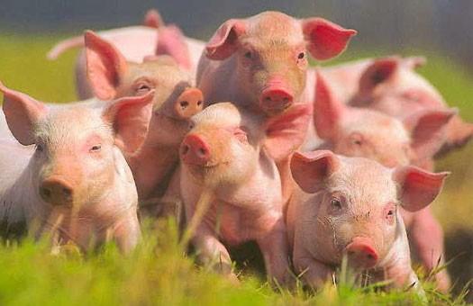 Южнокорейские учёные нашли у корейских свиней грипп H3N2v