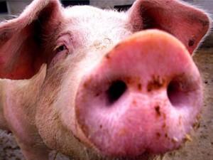 В Украину идет мутировавший свиной грипп