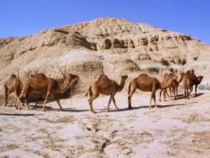 Роспотребнадзор обнародовал симптомы верблюжьего гриппа, убившего десятки людей