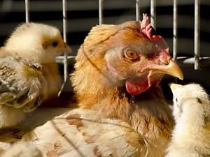 На Тайване обнаружен низкопатогенный вирус птичьего гриппа