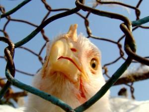 Эксперт: эпидемия птичьего гриппа в России маловероятна