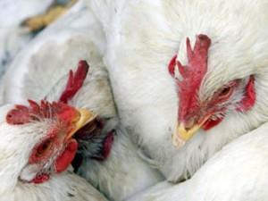 Семее прошли учения по противодействию «птичьему гриппу»