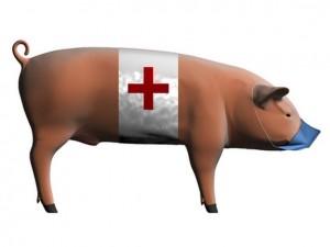 В Воронежской области в разгар жары выявили «свиной» грипп