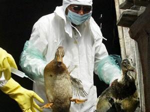 В Бурятии берут пробы на птичий грипп