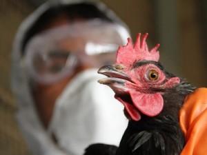 Распространение нового вируса гриппа H5N6 маловероятно