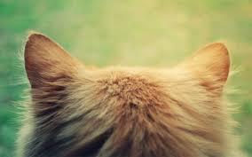 Как лечить ушного клеща у кошки?