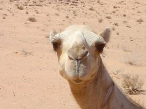 России грозит верблюжий грипп?
