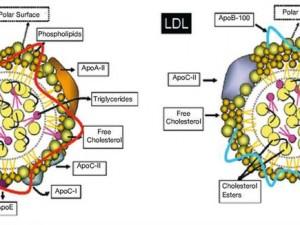 Высокий уровень триглицеридов и низкий уровень липопротеинов высокой плотности на тропе смерти