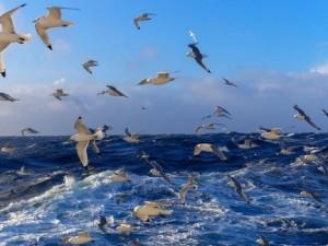 Ученые: дальневосточные чайки могут переносить птичий грипп