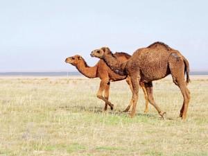 «Верблюжий грипп» передается воздушно-капельным путем, считают ученые