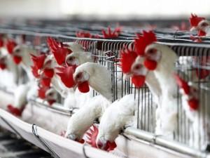 Сотрудники минсельхоза США могли заразиться птичьим гриппом при перевозке научных образцов