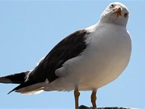 Российские и американские ученые изучат распространение птичьего гриппа тихоокеанскими чайками
