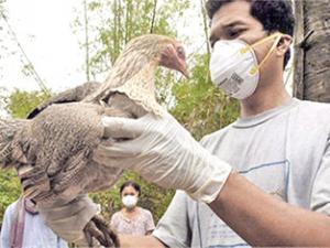 Ученые объяснили возникновение эпидемий птичьего гриппа