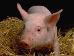 Свиной грипп: 8 популярных мифов