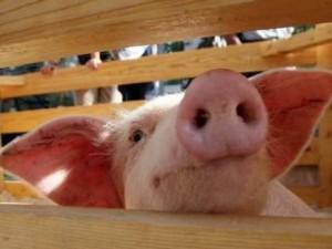 Свиной грипп — паниковать или задуматься?