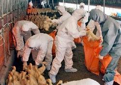В Западной Европе сразу 2 вспышки птичьего гриппа одновременно
